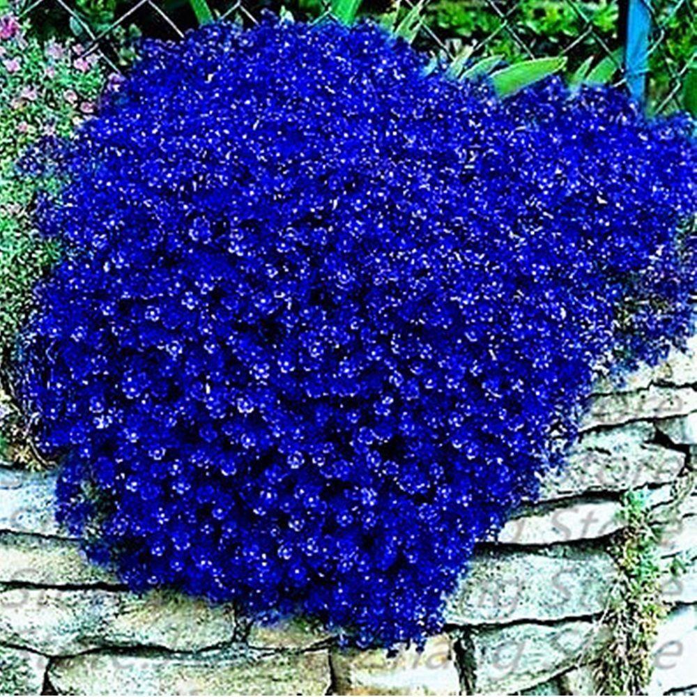 Climbing Seeds Blue Rock Cress Creeping Thyme Flower