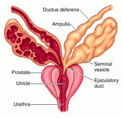Definition of prostate in the Medical Dictionary by The Free ...