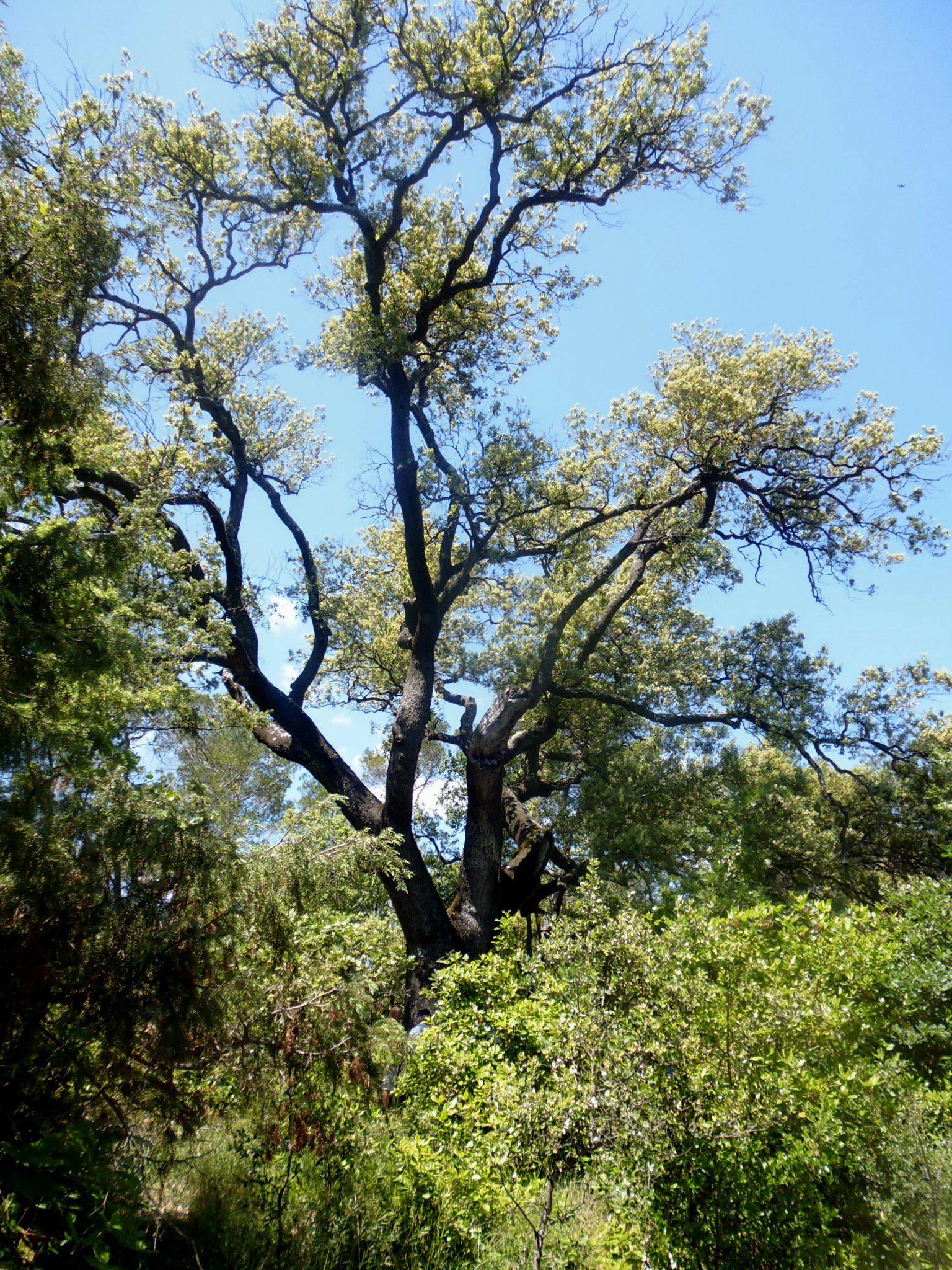 Aujourd'hui sur la commune de Lézan au lieu dit : Dévés sur la demande des propriétaires un chêne vert séculaire à été labellisé « arbre remarquable » D'après l'arboriculteur, spécialiste en botanique, ce chêne aurait entre 500 et 700 années.   C'est le plus gros chêne inventorié en France en environnement naturel.  Vous pouvez y accéder en randonnant sur le GR petite randonnée autour d'Anduze, je me ferai aussi un plaisir de vous y conduire....