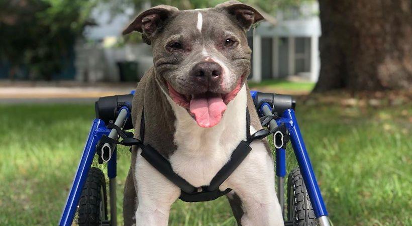 10 Common Health Problems With Pit Bulls Pitbulls Pets Dog Breeds
