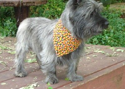 Hand made dog bandana for your Best Friend!    Too cute! Candy Corn fabric lets…
