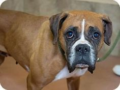 Pictures Of Ramona A Boxer For Adoption In Colorado Springs Co