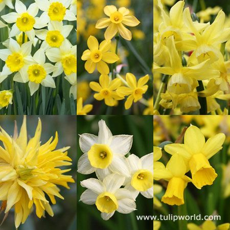 Miniature Daffodil Collection With 80 Bulbs Daffodil Bulbs Daffodils Planting Bulbs