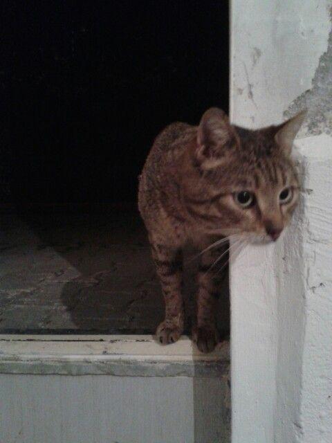 My cat Tekircan
