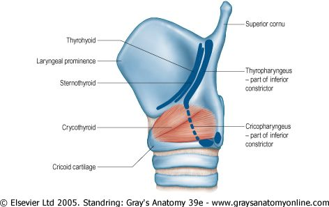 Lateral View Of The Articulated Thyroid And Cricoid Cartilage