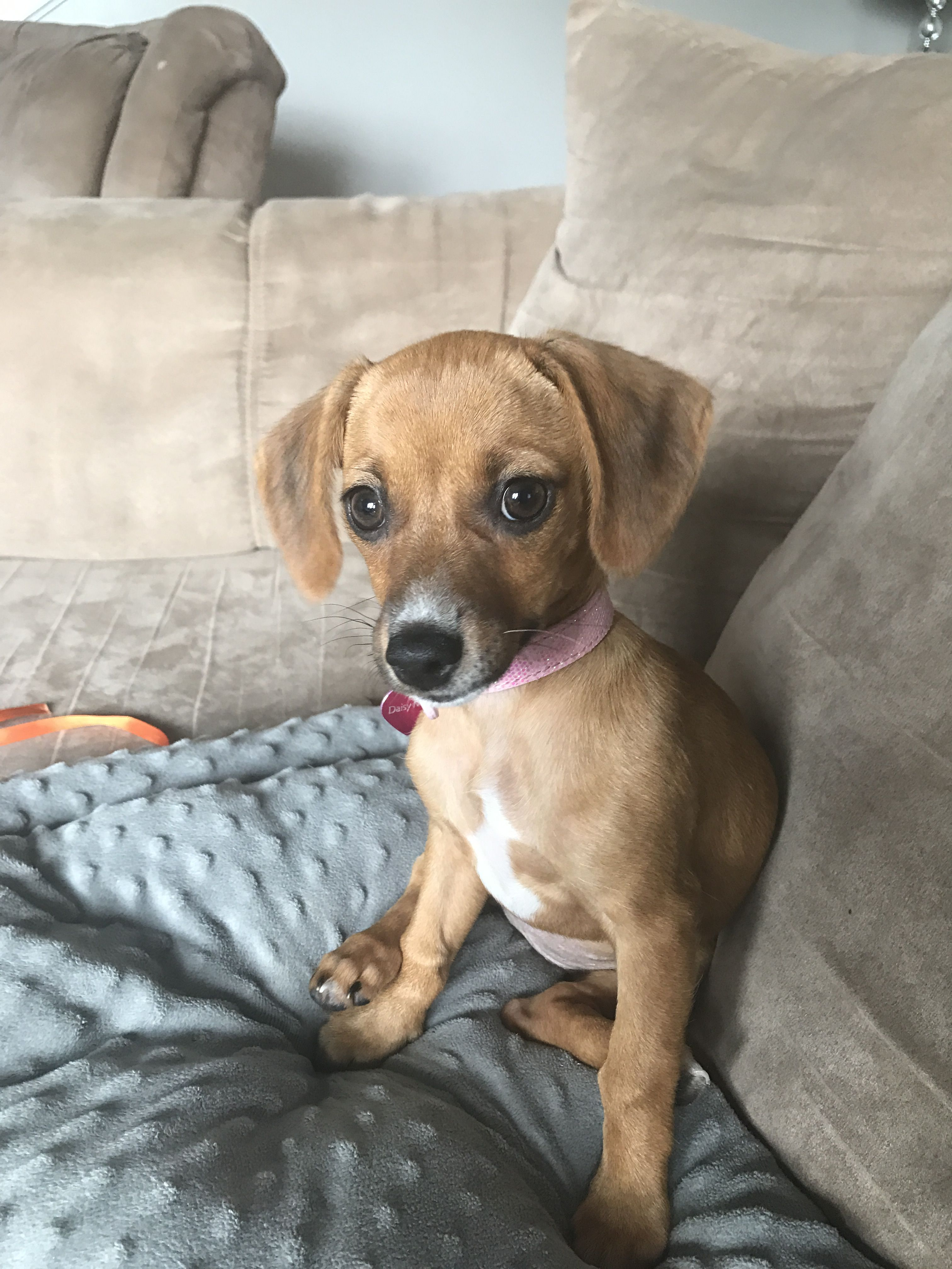 Chiweenie Puppy 12 Weeks My Sweet Daisy Mae Puppies