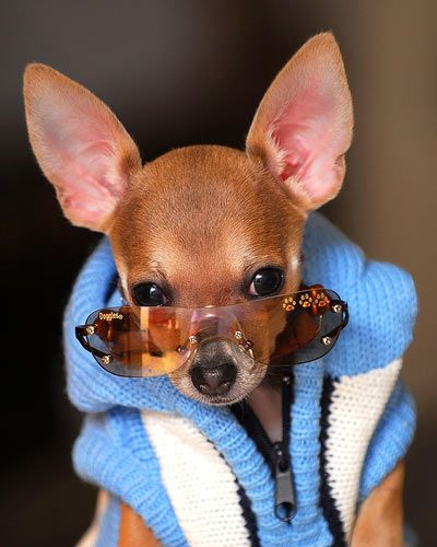 Doggles Stylish Protective Eyewear For Dogs Cute Chihuahua