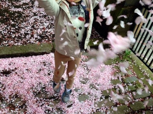 'My daughter loved this carpet of blossom in Edinburgh and throwing it over me.' Photograph: andrewkavanagh/GuardianWitness
