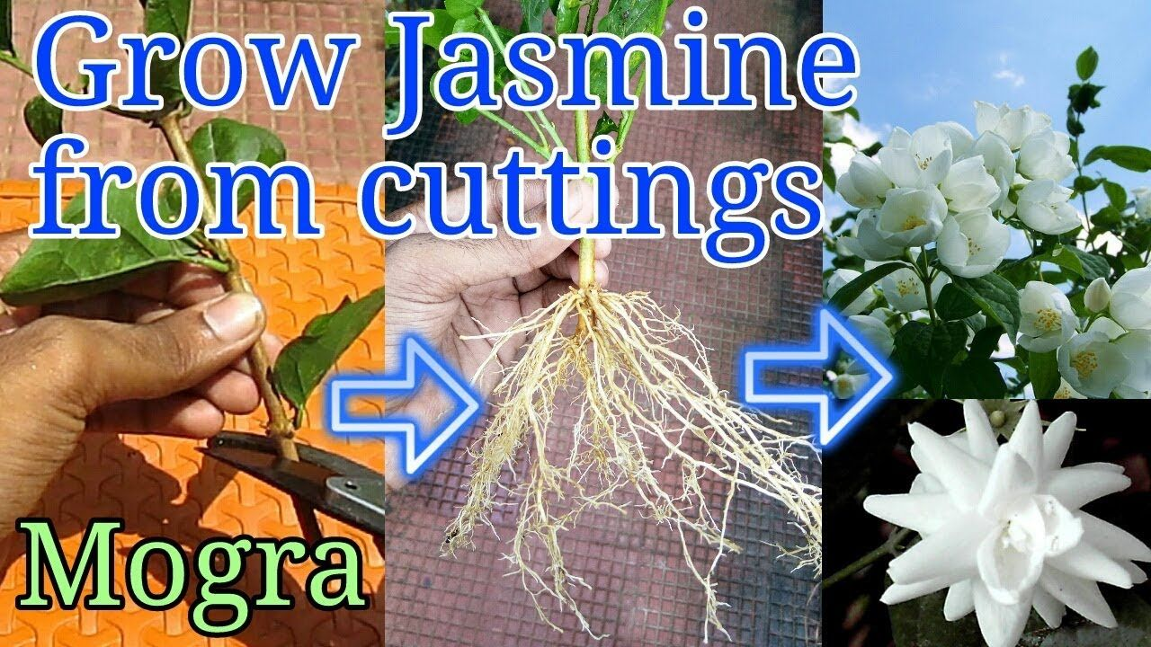 How To Grow Jasmine From Cuttings Youtube Jasmine Plant Garden Plant Stand Propagating Plants