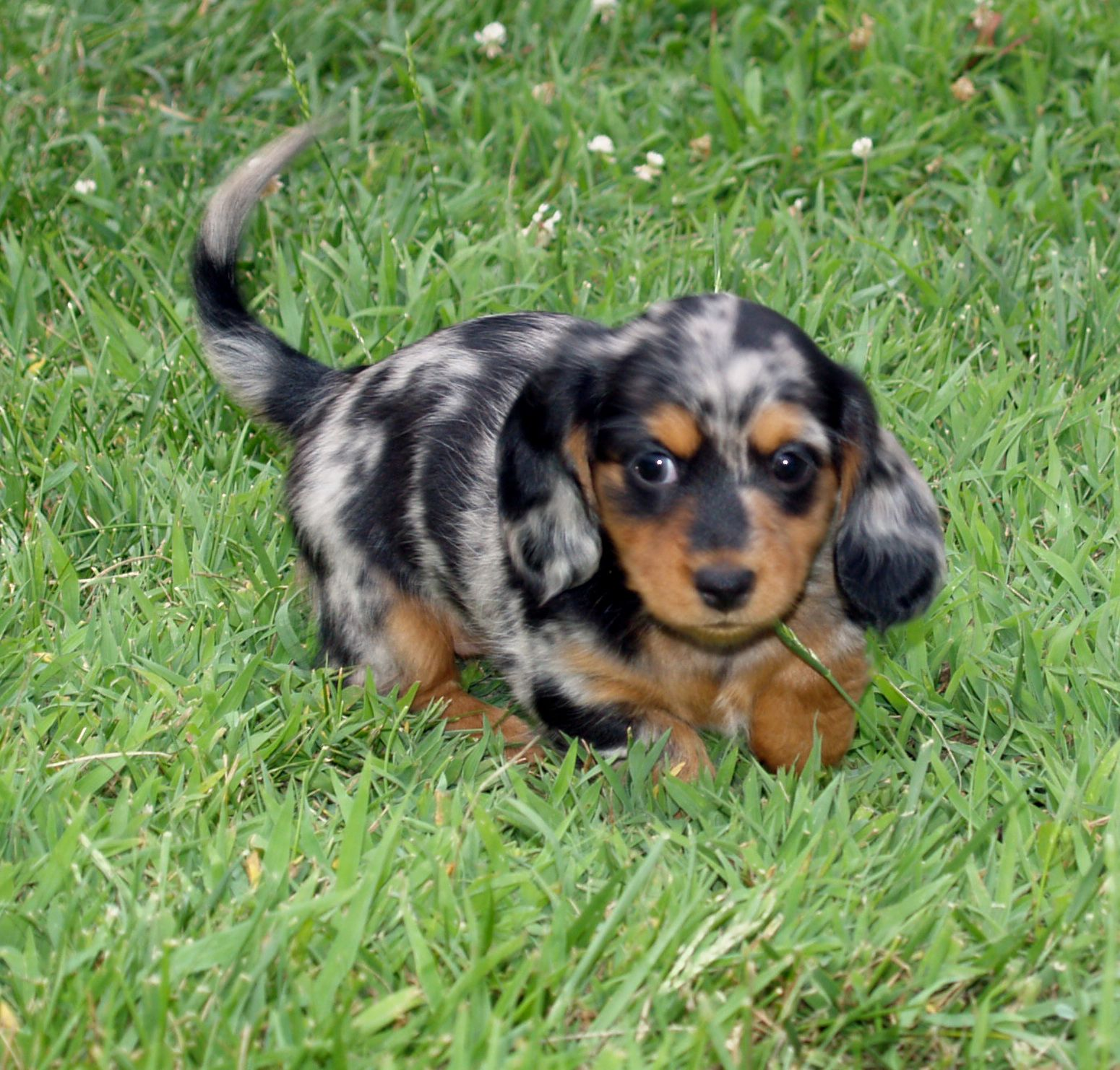 6 Weeks Old Long Haired Black Tan Dapple Mini Dachshund Dapple