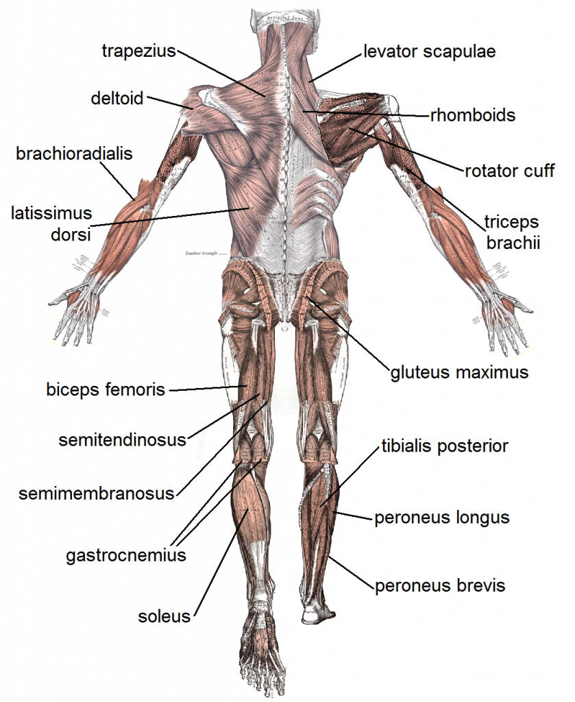 Muscleposteriorlabeled Stretches Pinterest Muscular System