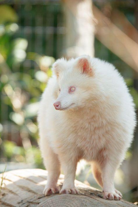 That S An Albino Tanuki It Looks Like An Ethereal Marshmallow