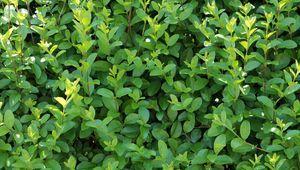 Liguster Beliebte Hecke für den Garten Hecke pflanzen