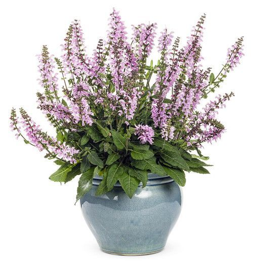 Color Spires Pink Dawn Meadow Sage - Salvia - Gallon Pot - Proven Winners