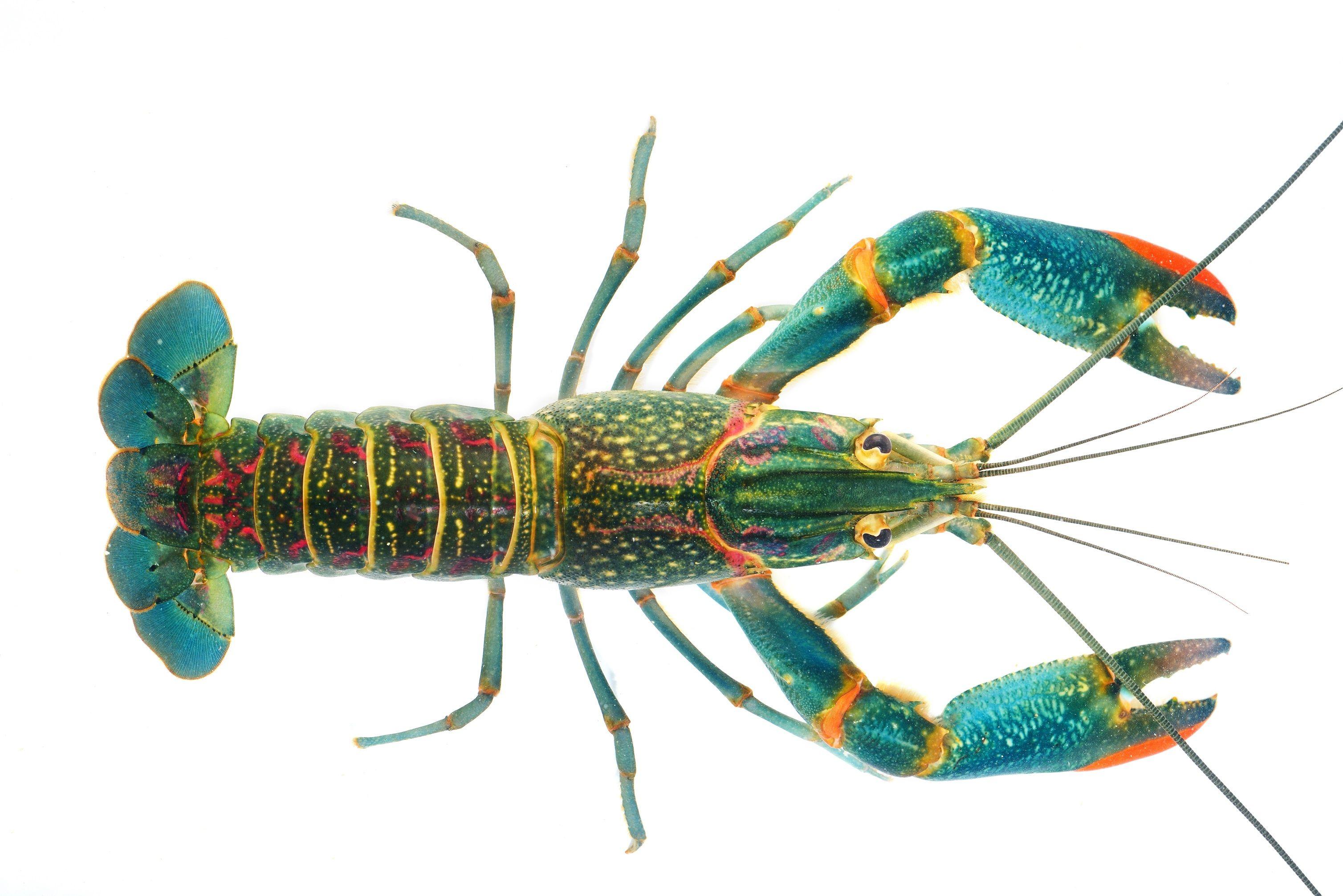 Liveaquaponics.com Australian red claw crayfish Cherax ...