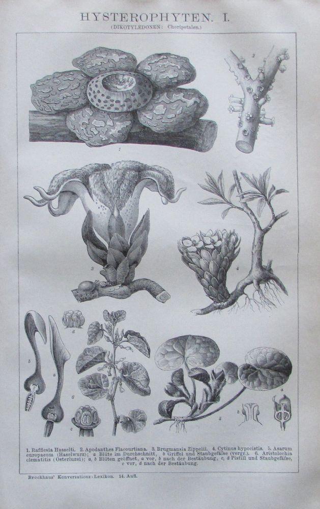 1894 Hysterophyten I Ii Original 2 Alte Drucke Old Prints Pflanzen Lithographie Ebay Botanische Abbildungen Antike Drucke Pflanzenzeichnung