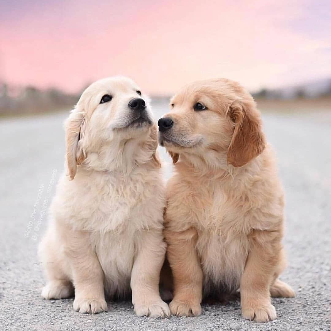 10 Golden Retriever Facts You Need To Know Cute Puppies Cute