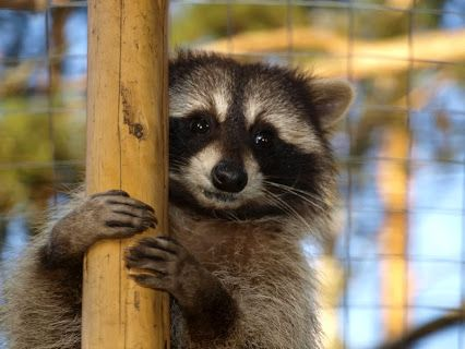 If It Sounds Like Bowling Balls Are Being Dropped On The Ceiling It S Probably A Raccoon In The Attic Animalremoval Dallas Animals Raccoon How To Remove