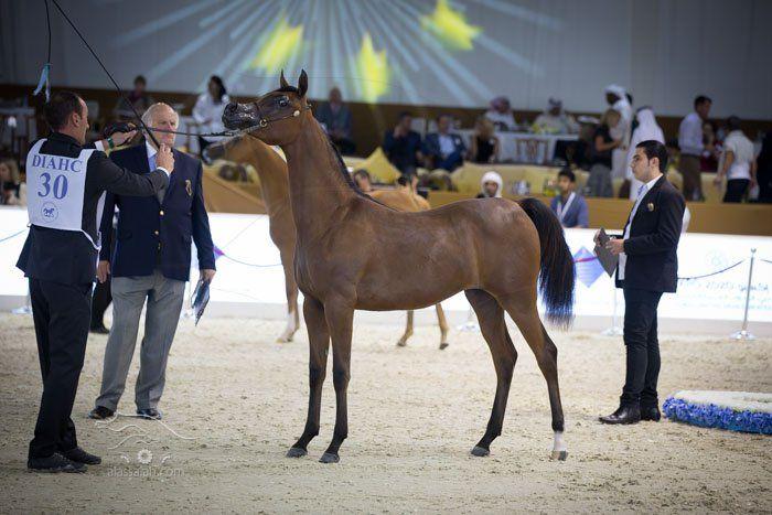 بطولة دبي الدولية الـ 13 للجواد العربي تنطلق الخميس المقبل بمشاركة 255 جوادا من 19 دولة Horses Arabian Horse Animals