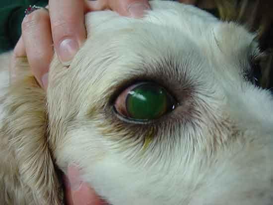 Dog Eye Problems With Images Dogs Eyes Problems Dog Eyes