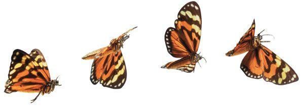 Pin by Nicholas Scafa on Flight for Donna | Butterflies