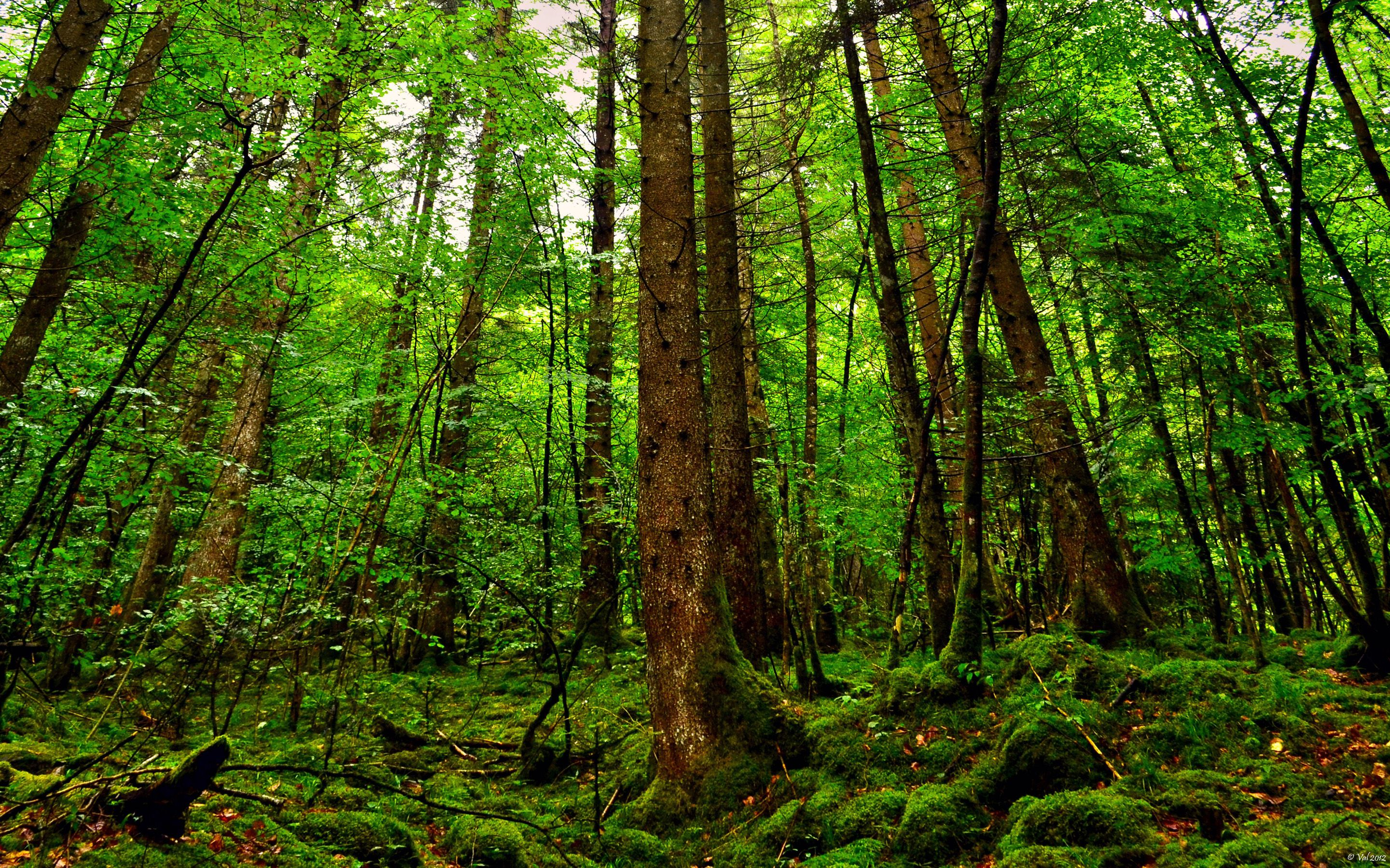 Forest Wall Paper forest wallpaper free 10746 - hd wallpaper site | north american