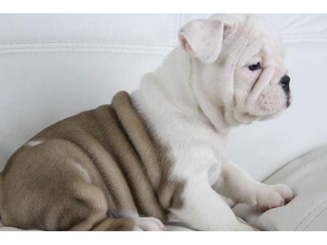 Englishbulldogspuppiesreadyfornewhome B U L L Y B A B I E S