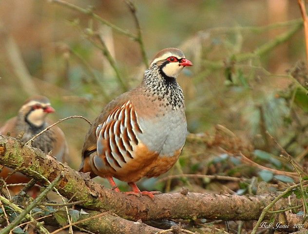 Red Legged Partridge Pet Birds Animal Of Scotland Game Birds