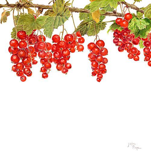 Redcurrants Limited Edition Print, Original & Greeting Card by Janie Pirie - Botantical Artist