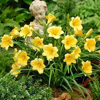 The Stella de Oro is the grande dame, with the longest blooming period of any daylily. It will bloom continuously from spring until frost. Its buttercup yellow, ruffled flowers bloom on 12-inch stems, with the plant reaching 24 inches. The Stella de Oro grows in USDA zones 3 to 9. While it prefers full sun, it can take partial shade. It is very drought tolerant and will tolerate almost any soil.