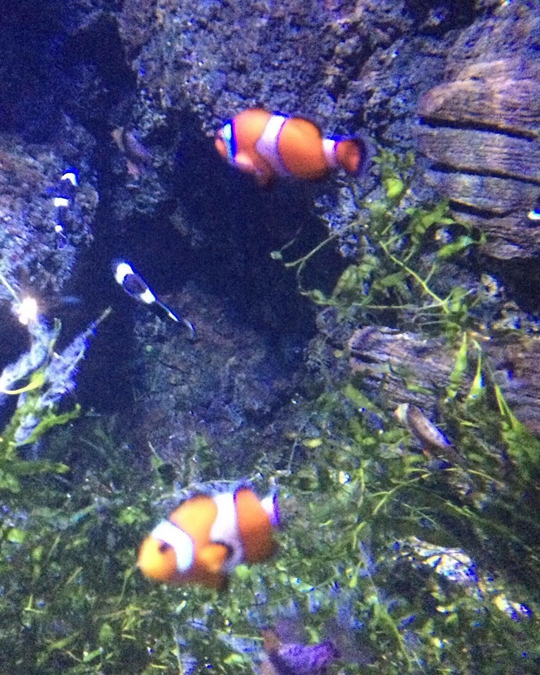 Buy fish for aquarium london - Clown Fish Clown Fish Clownfish London Aquarium Londonaquarium