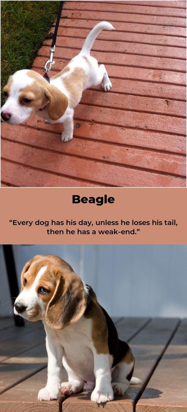 Beagle Beaglesofig Beagles Names Beagle Beagle Names Beagle