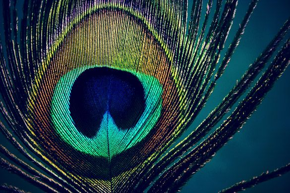Peacock Feathers have many meanings within different cultures.   It represents - pride, open mindedness, prepared to take on challenges, protection against those who would do harm, a pure soul that cannot be corrupted. It is the symbol for those who are Tailors,