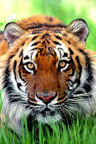 African tiger