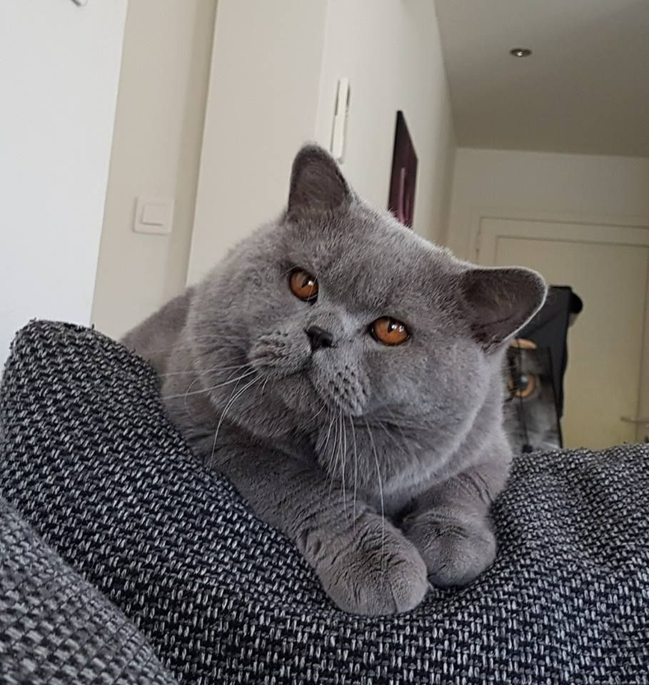 Britisch Kurzhaar Beautiful Cats Cute Cats And Kittens British