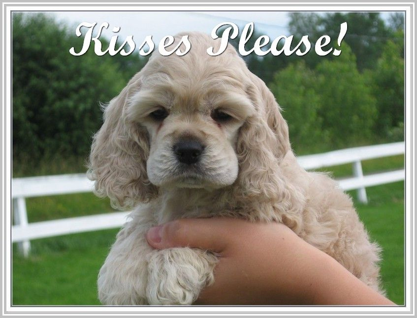 Information About Canines Trasedogs Cocker Spaniel Puppies Spaniel Puppies American Cocker Spaniel