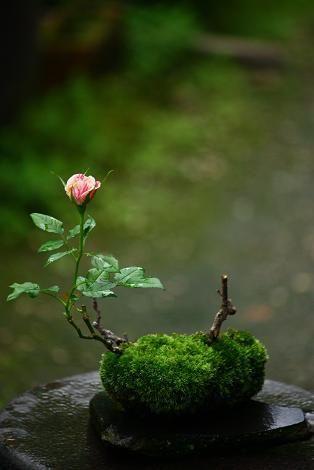 Hồng Bonsai Xuc Cảm Garden Những Mẫu Bonsai Mini đẹp Hoa
