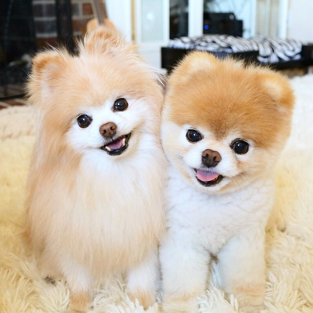 Muere El Perro Mas Bonito Del Mundo Perros Esponjosos Boo El Perro Más Lindo Perro Boo