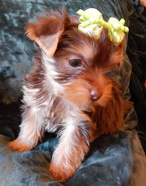 Pin By Astrid Roth On Yorkies Cute Little Puppies Yorkie Puppy Yorkie
