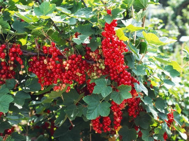9 Fruit Plants You Can Grow in Containers. You can grow a mini-orchard of fruit in patio containers if you're willing to water and feed regularly. Choose from soft fruits, such as currants and gooseberries, or tree fruits like apples, pears and cherries. #containergardening