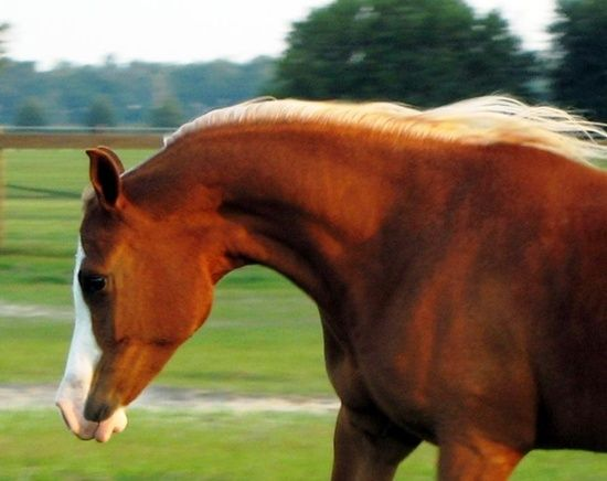 All Anglos - Breeders of National Champion Arabian and Anglo Arabian sporthorses - Gold N Dove
