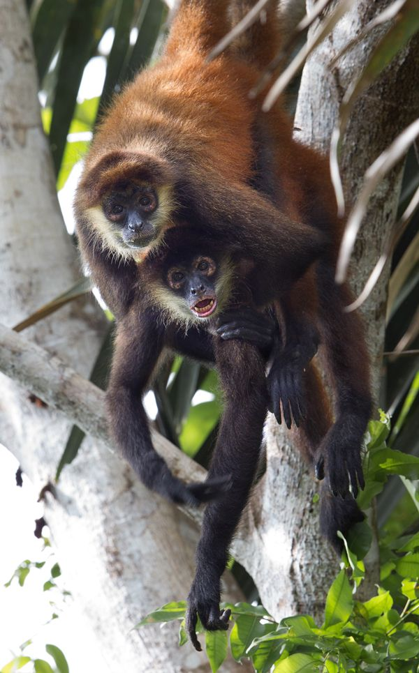 Wildcat Expedition In Corcovado Lapa Rios Costa Rica Animals Costa Rica Wildlife Costa Rica Holiday