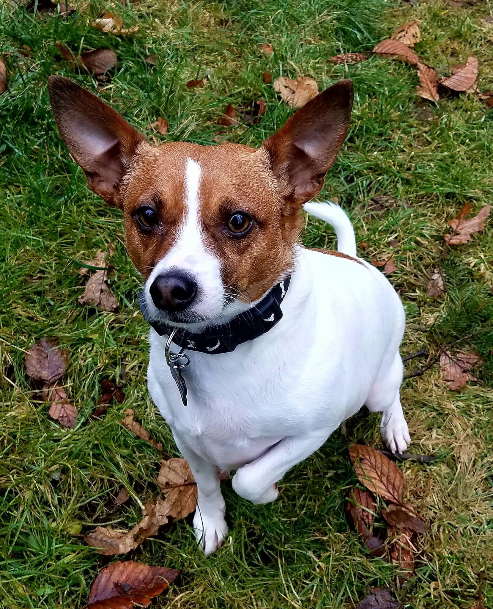 Jack Russell Terrier dog for Adoption in Yakima, WA. ADN