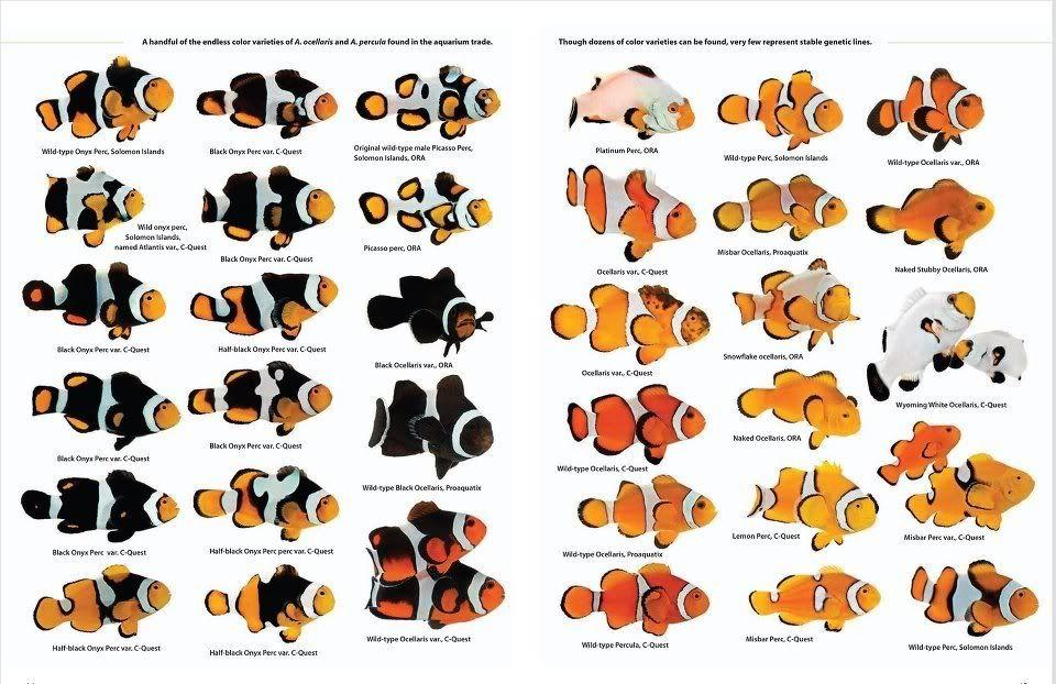 Wyoming White Clownfish General Reef Keeping Chatter Saltwater Aquarium Saltwater Aquarium Fish Saltwater Fish Tanks