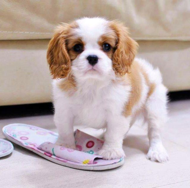 Cavalier King Charles Spaniel Cavalier King Charles Dog King Charles Cavalier Spaniel Puppy King Charles Dog
