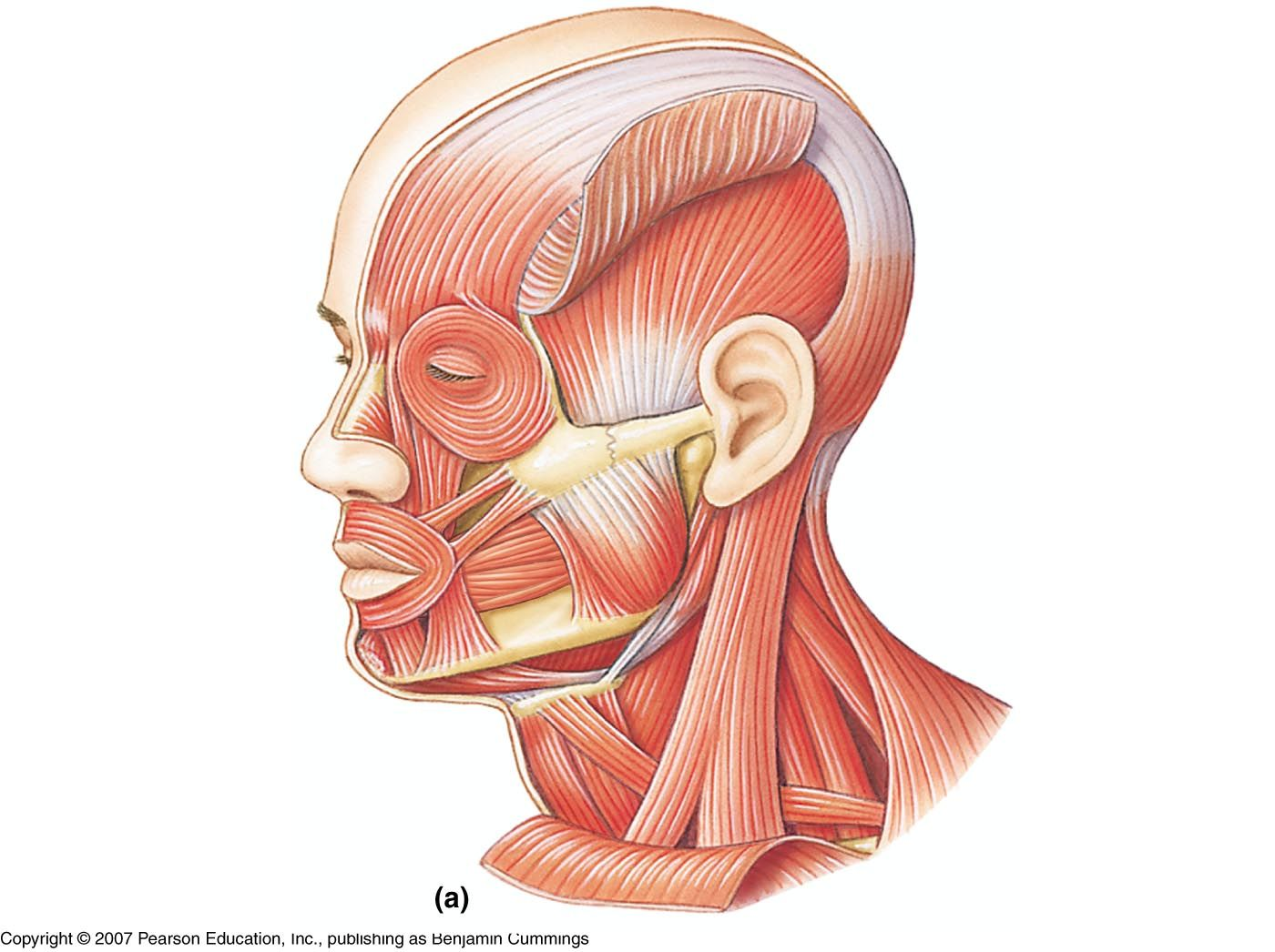 Unlabeled Muscles Of The Head And Neck