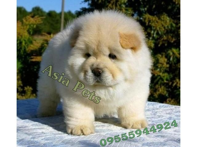 Chow Chow Pups Price In Bangalore Chow Chow Pups For Sale In
