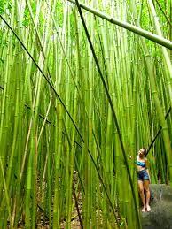 Bildresultat för bamboo forest