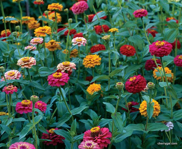 Cynia Annual Flowers Sown Directly Into The Ground Growing Zinnias From Seed Zinnias Zinnia Flowers
