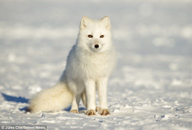 Adorable arctic fox curls up to protect himself from cold